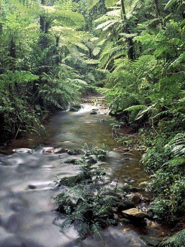 Rainforest Tree Fern and Stream, Uganda Photographic Print