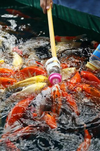 Feeding koi fish with milk bottle photographic print by for Fish in a bottle menu