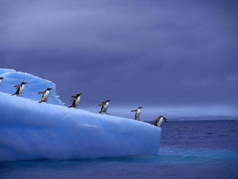 Gentoo Penguins on Iceberg Photographic Print
