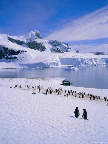 Gentoo Penguins, Antarctic Peninsula, Antarctica Photographic Print
