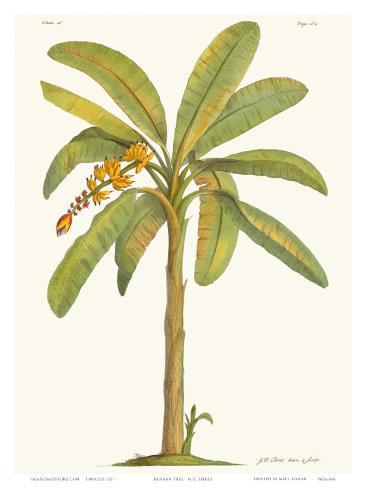 Banana Tree, 18th Century Impressão artística
