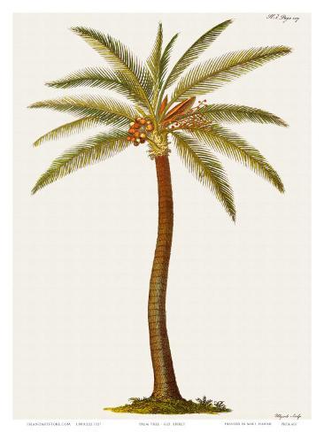 Coconut Palm Tree, 18th Century Impressão artística