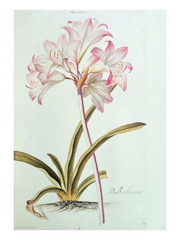 Lily: Lilium Belladonna, (Pl.12) from Trew's Hortus Nitidissumus 1, 1750 Lámina giclée