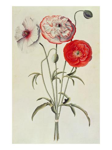 Poppies: Corn (Papaver Rhoeas) Lámina giclée
