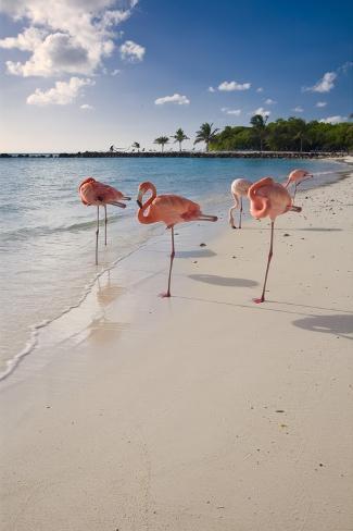 Caribbean Beach With Pink Flamingos, Aruba Photographic Print