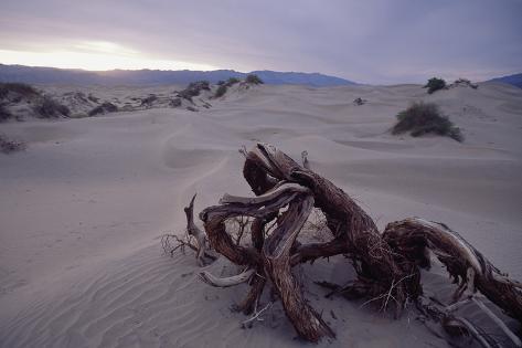 Death Valley Tree, California Photographic Print