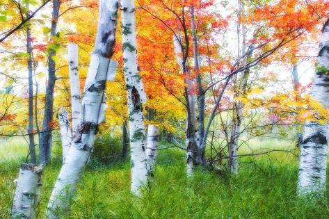 Dreamy Autumn Birches Photographic Print