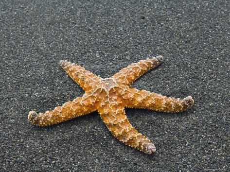 Ochre Seastar, Exposed on Beach at Low Tide, Olympic National Park, Washington, USA Photographic Print