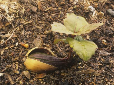 Coast Live Oak Acorn Sprouting, Quercus Agrifolia, California, USA Stampa fotografica