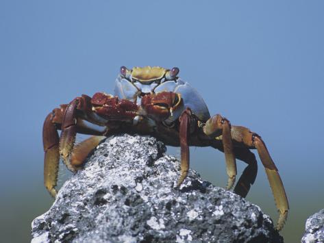 Sally Lightfoot Crab, Grapsus Grapsus, Urbina Bay, Isabela Island, Galapagos Islands Photographic Print