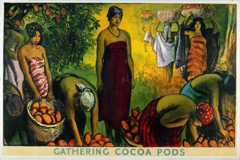 Gathering Cocoa Pods, from the Series 'What Gold Coast Prosperity Means' Giclee Print
