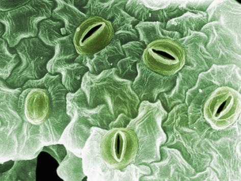The Epidermal Surface of a Tobacco Leaf Showing Several Opened and Unopened Stomates Photographic Print