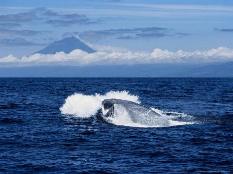 Blue Whale, Porpoising, Azores, Portugal Photographic Print
