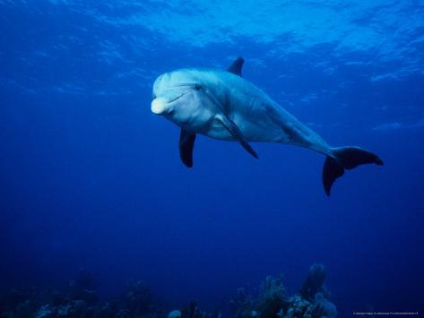 Bottlenose Dolphin, Underwater, Providenciales Photographic Print