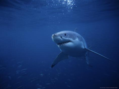 Great White Shark, Swimming, South Australia Photographic Print