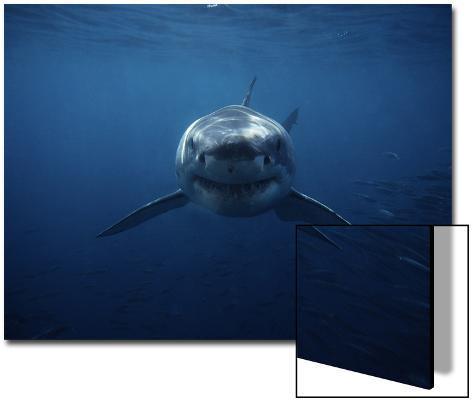 Great White Shark, Swimming, South Australia Art on Acrylic