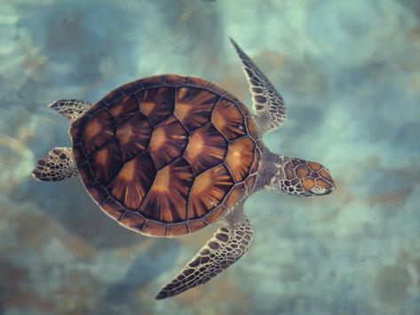 Green Turtle, Java, Indian Ocean Photographic Print