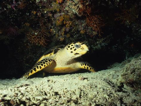 Hawksbill Turtle, Underwater, Maldives Photographic Print