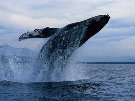 Humpback Whale, Breaching, Puerto Vallarta Photographic Print