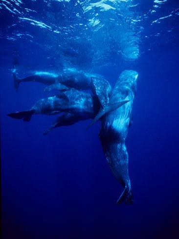 Sperm Whale, Protecting Calf, Portugal Photographic Print