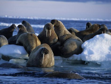 Walrus, Group on Ice, Canada Photographic Print