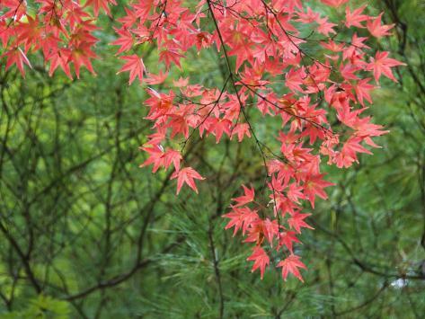 Contrasting Autumn Leaves, Arishiyama District Photographic Print