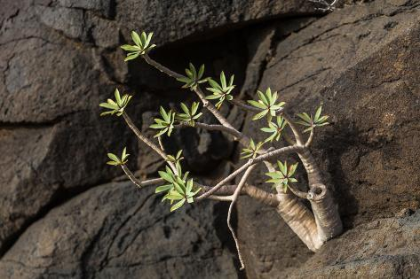 Plant on Lava Rock, La Palma, Canary Islands, Spain, Europe Photographic Print