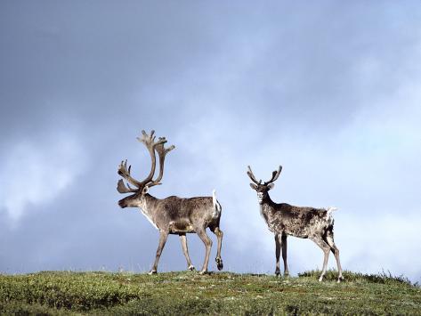 Caribou (Rangifer Tarandus) Silhouetted Against Sky, Alaska Photographic Print