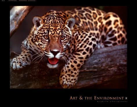 Jaguar Lámina por Gerry Ellis en AllPosters.es