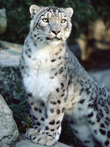 Snow Leopard (Uncia Uncia), Woodland Park Zoo, Seattle, Washington Photographic Print