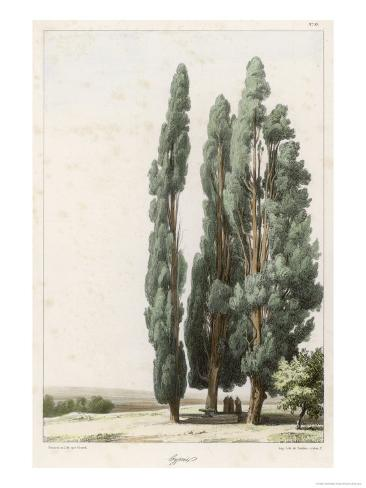 Cypress Giclee Print