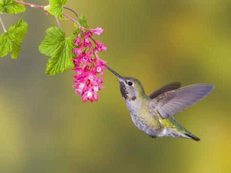 Anna's Hummingbird (Calypte Anna) Feeding at a Red Currant Flower in Victoria, British Columbia, Ca Photographic Print