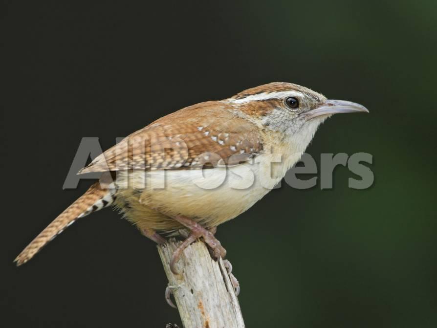 Carolina Wren (Thryothorus Ludovicianus) Perched on a Branch in Toronto,  Ontario, Canada