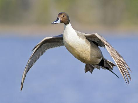 Northern Pintail (Anas Acuta) Flying, Victoria, BC, Canada ...
