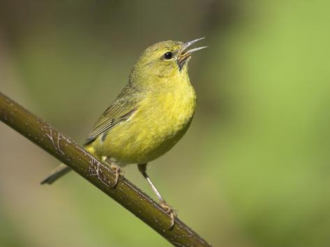 Orange-Crowned Warbler (Vermivora Celata) Perched on a Branch and Singing, Victoria Photographic Print