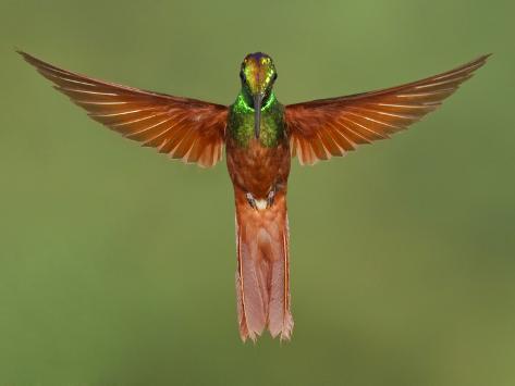 Rainbow Starfrontlet (Coeligena Iris) Hovering Near a Flower, Utuana Reserve, Ecuador Photographic Print