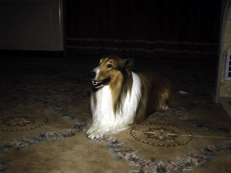 Lassie Photo