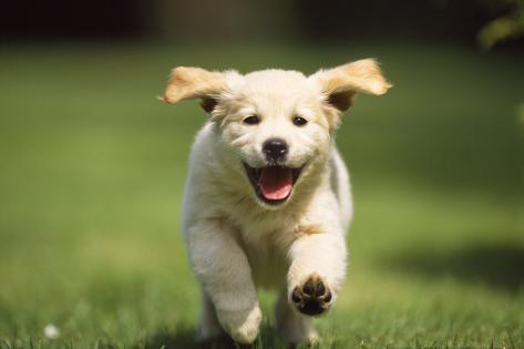Golden Retriever Dog Puppy Running Towards Camera Photographic Print