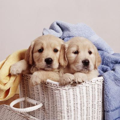 Golden Retriever Dog Two Puppies in Laundry Basket