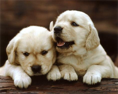 オールポスターズの golden retriever puppies ポスター