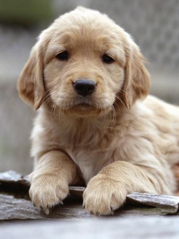 オールポスターズの golden retriever puppy 写真プリント