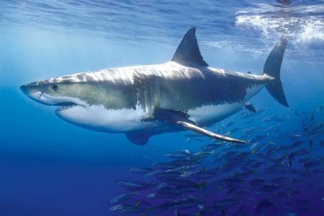 Gran tiburón blanco Pósters en AllPosters.es
