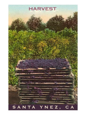 Grape Harvest, Santa Ynez, California Art Print