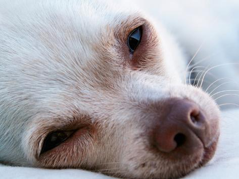A Tiny Chihuahua Lying On A Couch Photographic Print