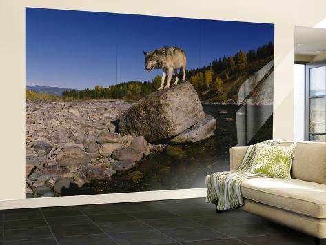 Gray Wolf, North Fork Flathead River, Glacier National Park, Montana, USA Wall Mural – Large