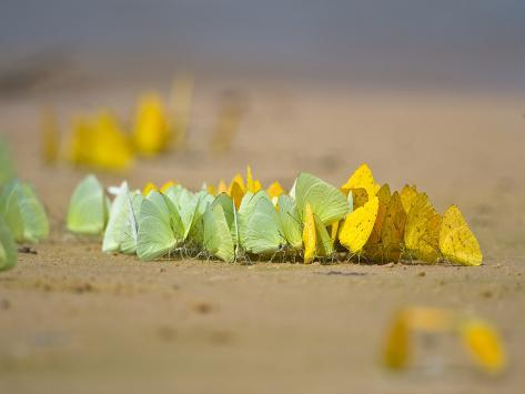 Swarm of Sulphur Butterflies, Three Brothers River, Meeting of the Waters State Park, Pantanal W... Photographic Print