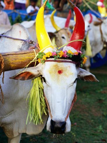 greg-elms-bull-decorated-for-pongal-fest