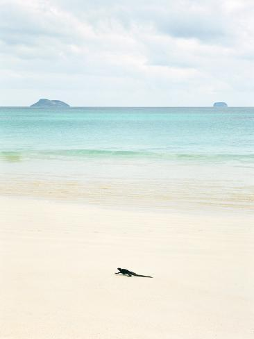 A Marine Iguana Strolls Along the White Sand Beach on Isla Santa Cruz in the Galapagos Islands Stretched Canvas Print