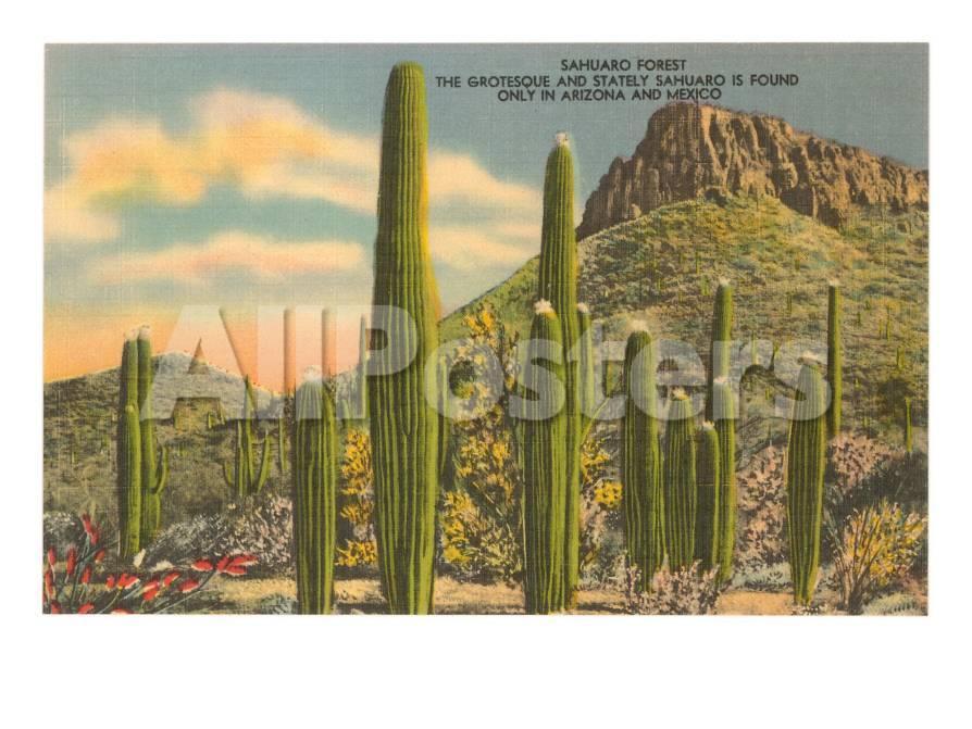 Grupo de cactus de Saguaro Láminas en AllPosters.es