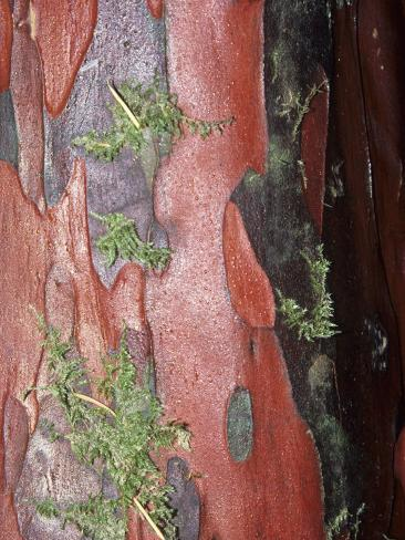 Pacific Yew Tree, Taxus Brevifolia, Close-Up of Bark, Taxus Brevifolia Photographic Print